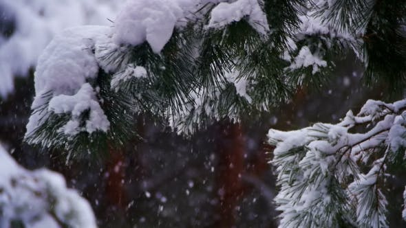Thumbnail for Snow Falling in Winter Pine Forest with Snowy Christmas Trees.