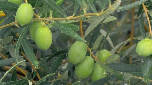 Wet Olive Tree and Drizzle