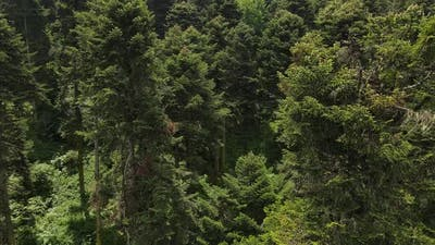 Natural Forest Environment Trees