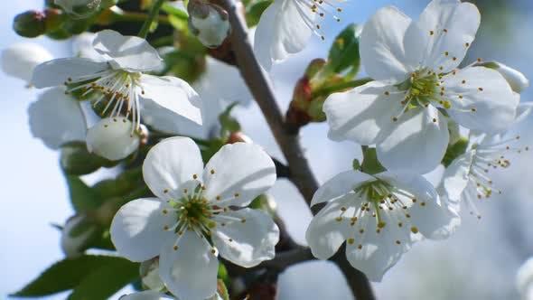Thumbnail for Cherry Blossom Tree Branch  Flowers Blue Sky Summer Season Beautiful