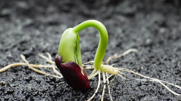 Cover Image for Plant Growing in Timelapse, Sprouts Germination Spring and Summer Agriculture