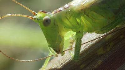 Green Grasshopper Cleans Antennae