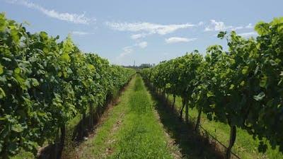 Walking In The Vineyards