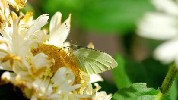 Thumbnail for Pieris Brassicae White Butterfly