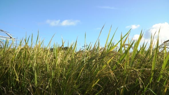 Thumbnail for Green Rice Field.