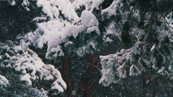 Thumbnail for Snow Falling in Winter Pine Forest with Snowy Christmas Trees