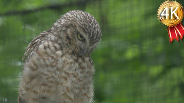 Thumbnail for Ruffled Brown Owl Sitting on a Branch of Tree