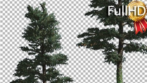 Two White Firsconiferous Evergreen Thin Trees