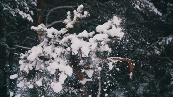 Thumbnail for Snow Falling From the Snow-Covered Christmas Tree Branches in Winter Day.