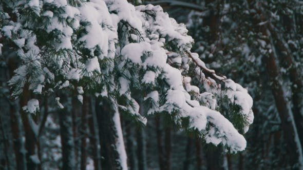 Thumbnail for Winter Pine Forest with Snowy Christmas Trees