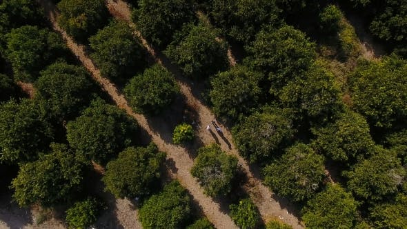 Thumbnail for The Orange Plantation with Green Trees and Three People Among the Trees