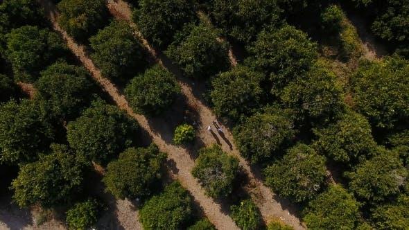 Thumbnail for Die Orangenplantage mit grünen Bäumen und drei Menschen unter den Bäumen
