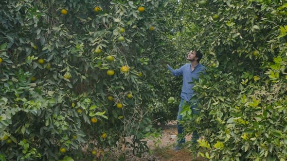 Thumbnail for Attractive Man Walking Among the Green Citrus Trees on the Plantation