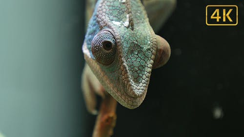 Chameleon Camouflage Reptile Moving Eyes on a Branch