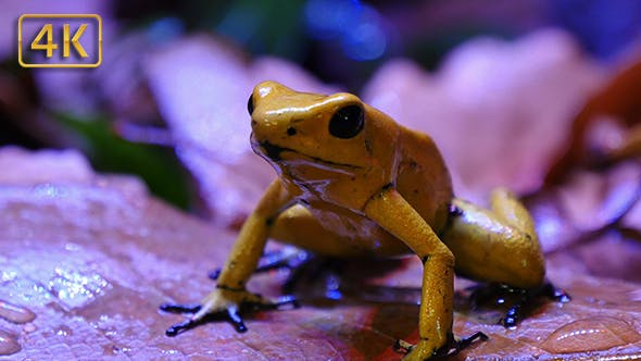 Cover Image for Golden Poison Terribilis Dart Frog