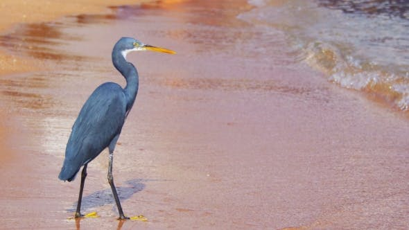 Thumbnail for The Reef Heron Hunts for Fish on the Beach of the Red Sea in Egypt
