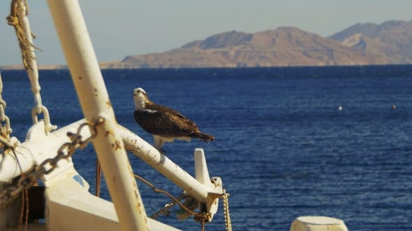 Thumbnail for Marine Bird of Prey Osprey Sits on the Mast of the Ship's Bow Against Background of Red Sea