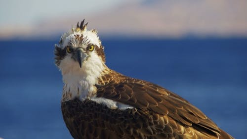 Marine Bird of Prey Osprey Sits on the Mast of the Ship's Bow Against Background of Red Sea