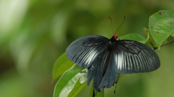 Thumbnail for Butterfly on Leaf in the Tropical Rain Forest. Kuala-Lumpur Malaysia
