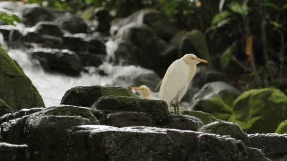 Thumbnail for The Cattle Egret (Bubulcus Ibis) a Cosmopolitan Species of Heron. Malaysia.