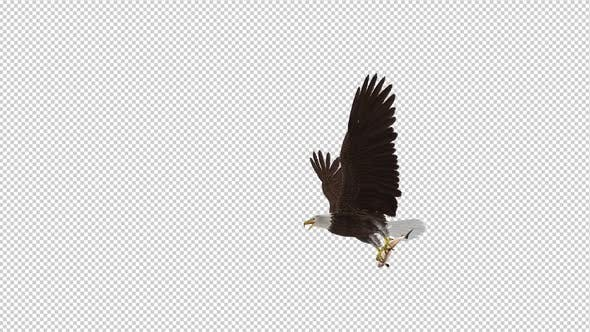 Thumbnail for Bald Eagle with Salmon Fish - 4K Flying Transition III