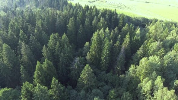 Flying Above Green Forest at Summer Time