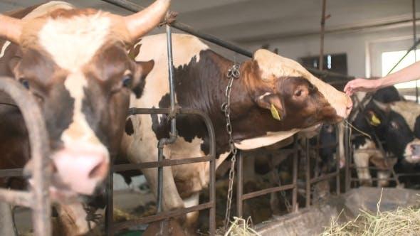 Thumbnail for Moderne Farm Scheune mit Melken Kühen Essen Heu