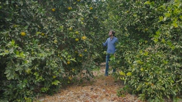 Thumbnail for Young Man Walking Among Citrus Trees on Plantation