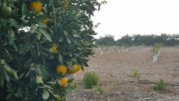 Thumbnail for Plantation with Citrus Tree and Oranges