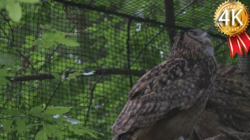 Two Long-Eared Owls Are Sitting in Aviary in Zoo