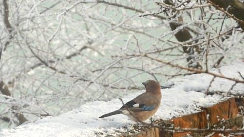 Vogel Eurasischer Jay Garrulus Glandarius