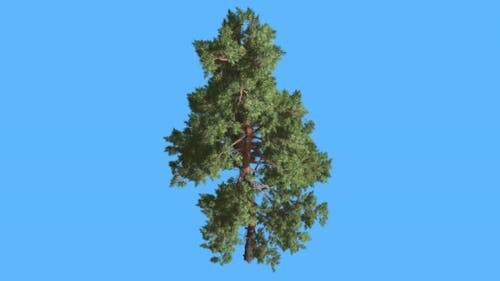 Scots Pine on Blue Screen Thin Trunk and Branches