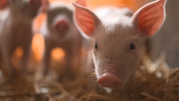 Thumbnail for Pigs on Livestock Farm. Pig Farming