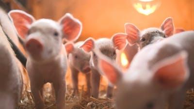Pigs on Livestock Farm