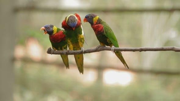 Thumbnail for Le Loriquet arc-en-ciel Trichoglossus Molucanus, espèces colorées de perroquet