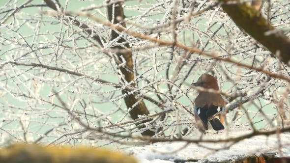 Thumbnail for Bird Eurasian Jay Garrulus Glandarius