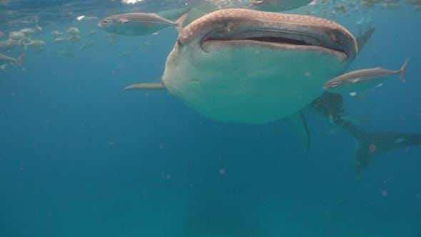 Thumbnail for Whale Shark in Ocean.