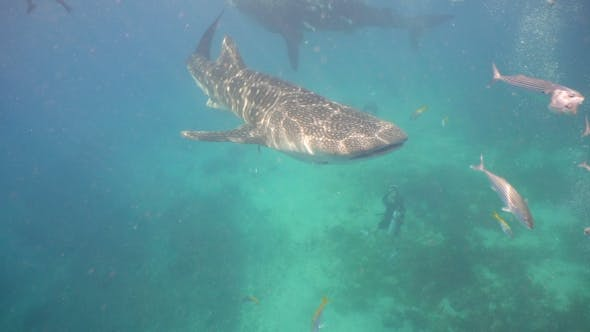 Thumbnail for Whale Shark in Ocean.