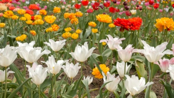 Thumbnail for Beautiful Multicolor Tulips. Slider Footage.