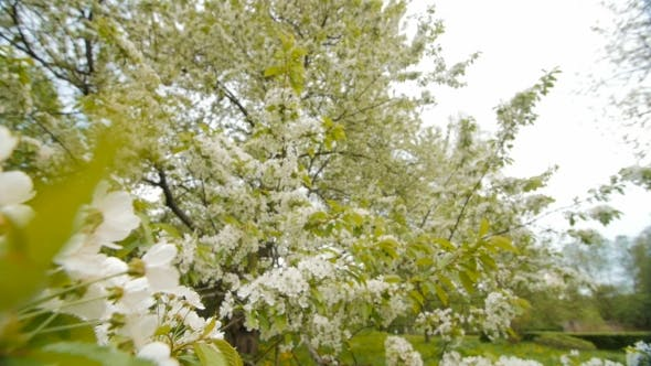 Thumbnail for Beautiful Big Tree with White Flowers,
