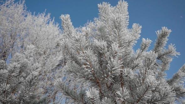 Thumbnail for Frozen Tree Needles