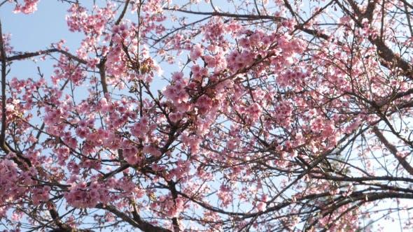 Thumbnail for Sakura Tree
