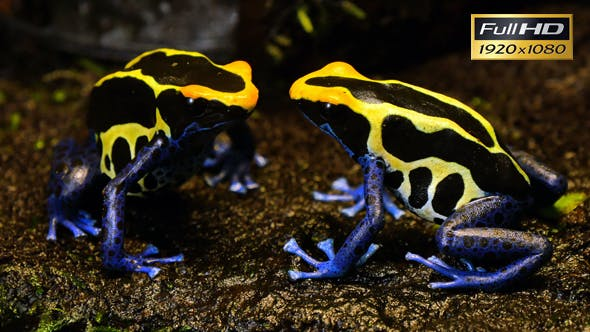 Thumbnail for Blue and Yellow Poison Dart Frog Couple