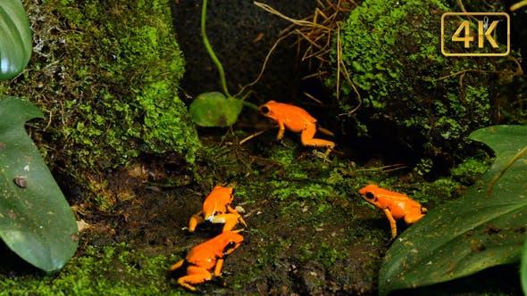 Golden Poison Terribilis Arrow Frog Group