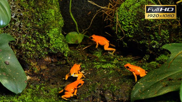 Thumbnail for Golden Poison Terribilis Arrow Frog Group