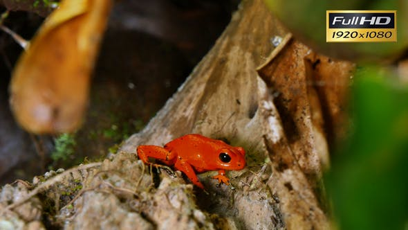 Thumbnail for Strawberry Poison Dart Frog Dendrobates Pumilio