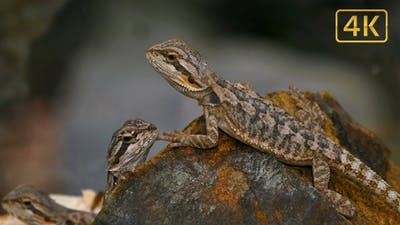 Pogona Reptile Lizard Couple