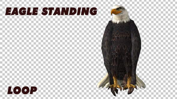 Thumbnail for Eagle Standing