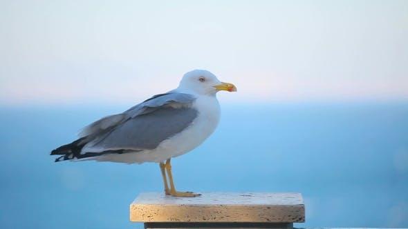 Thumbnail for a Beautiful Seagull