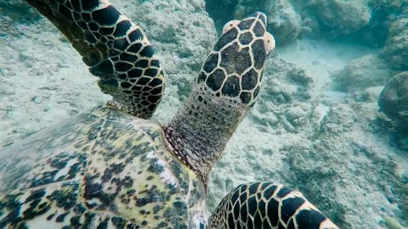 Cover Image for Underwater World of the Island of Bali. Sea Turtle. The Snorkeling and Diving Is Popular on East